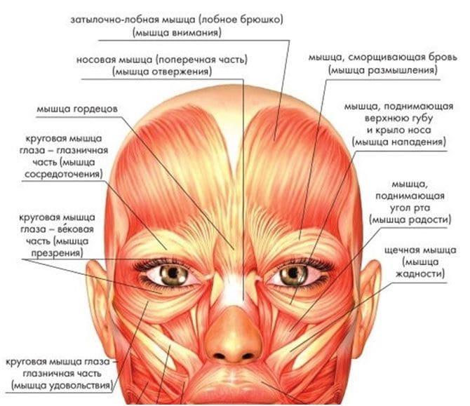 Анатомия мышц лица и шеи: фото с описанием и схемами Фото-6