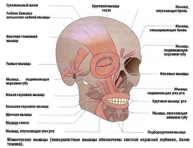 Анатомия мышц лица и шеи: фото с описанием и схемами Фото-7