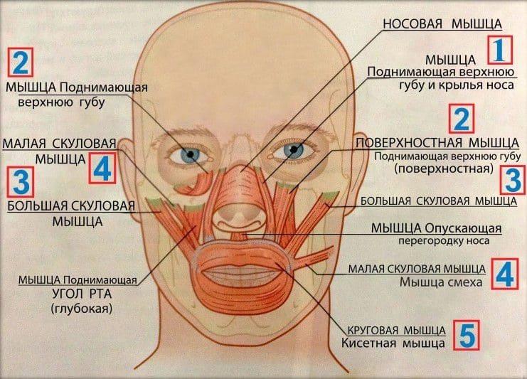 Анатомия мышц лица и шеи: фото с описанием и схемами Фото-8