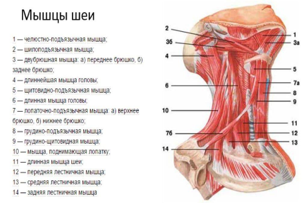 Анатомия мышц лица и шеи: фото с описанием и схемами Фото-9