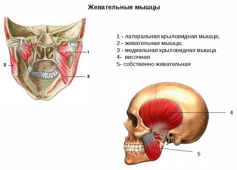 Анатомия мышц лица и шеи: фото с описанием и схемами Фото-5