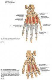 Sobotta. Атлас анатомии человека. Том 1: Голова. Шея. Верхняя конечность. Фото 3