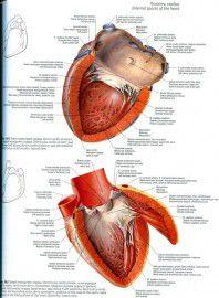 Sobotta. Атлас анатомии человека. Том 2: Туловище. Внутренние органы. Нижняя конечность. Фото 4
